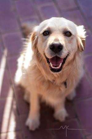 Yuki our golden retriever x labrador